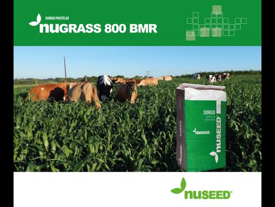 Sementes de Sorgo Pastejo Nugrass 800 Bmr Nuseed